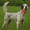 Grouse Ridge Setter Bruiser was raised and trained at Maple Ridge. A Runner Up Champion on the American Field circuit.