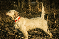 Mikki is a hunting dog, her pedigree is deeply rooted in the Grouse Ridge Setters line.