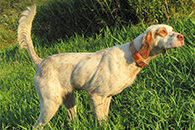Lexi-is a gun dog, and could have been a Champion on the Field Trial Circuit. Her pedigree is from the Grouse Ridge Setters line.
